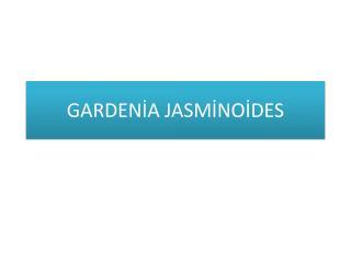 GARDENİA JASMİNOİDES