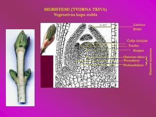 MERISTEMI (TVORNA TKIVA) Vegetativna kupa stabla