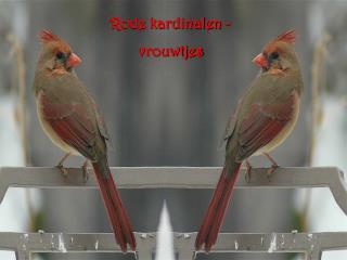 Rode kardinalen -  vrouwtjes