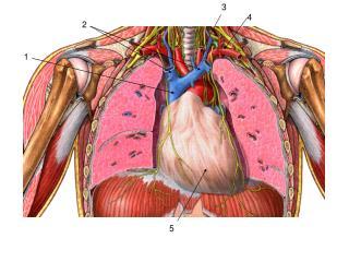 Fibrous pericardium / Pericardial sac