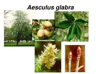 �Aesculus glabra