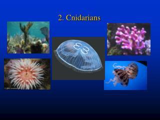 2. Cnidarians