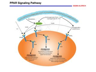 PPAR Signaling Pathway