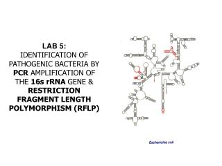 LAB 5:  IDENTIFICATION OF PATHOGENIC BACTERIA BY PCR AMPLIFICATION OF THE 16s rRNA GENE  RESTRICTION FRAGMENT LENGTH POL