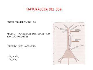 NATURALEZA DEL EEG