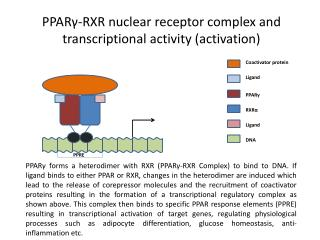 PPAR γ -RXR nuclear receptor complex and transcriptional activity (activation)