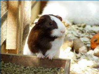 Guinea Pig : :, :22,0.3,, :,,,68,8