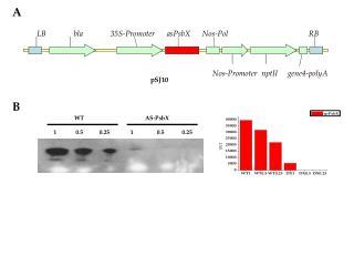 Nos-Promoter  nptII     gene4-polyA