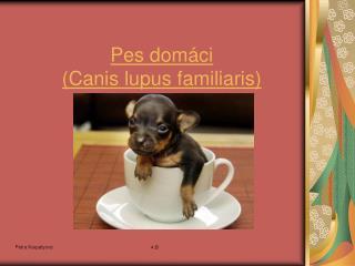 Pes dom�ci ( Canis lupus familiaris )