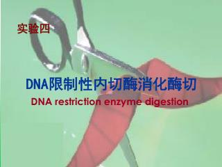 DNA 限制性内切酶消化酶切 DNA restriction enzyme digestion