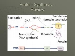 Protein Synthesis –  Review