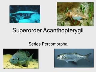 Superorder Acanthopterygii