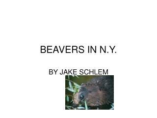 BEAVERS IN N.Y.