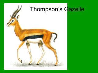 Thompson�s Gazelle