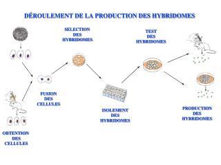 DÉROULEMENT DE LA PRODUCTION DES HYBRIDOMES