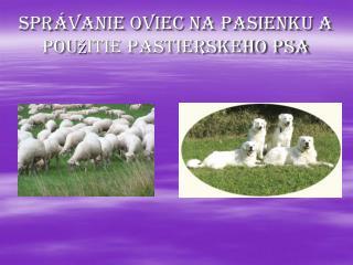 Správanie oviec na pasienku a použitie pastierskeho psa