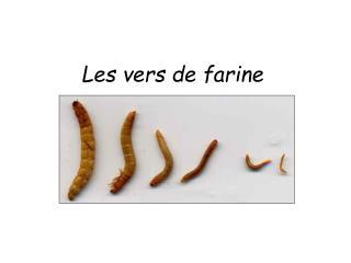 Les vers de farine