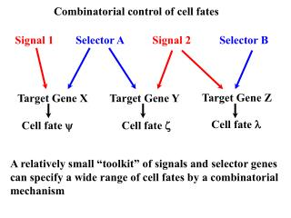 Combinatorial control of cell fates