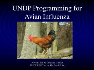 UNDP Programming for Avian Influenza