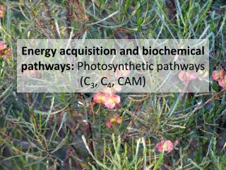 Energy acquisition and biochemical pathways:  Photosynthetic pathways (C 3 , C 4 , CAM)
