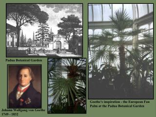 Goethe's inspiration - the European Fan Palm at the Padua Botanical Garden