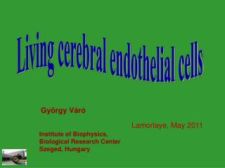 Living cerebral endothelial cells
