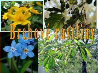 Brehové rastliny