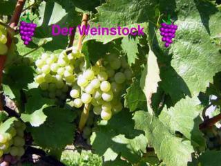 Der Weinstock