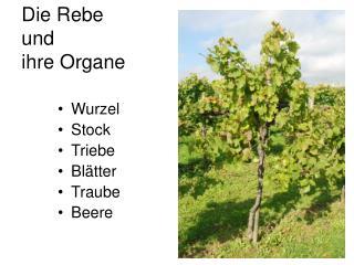 Die Rebe  und  ihre Organe