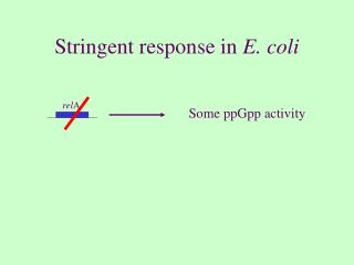 Stringent response in  E. coli