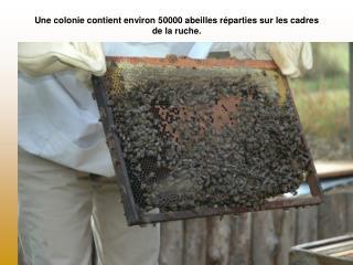 Une colonie contient environ 50000 abeilles r�parties sur les cadres de la ruche.