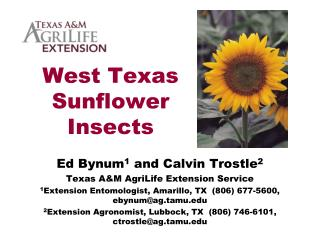 West Texas Sunflower Insects