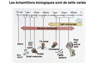Les  chantillons biologiques sont de taille vari e
