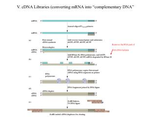 V. cDNA Libraries converting mRNA into  complementary DNA