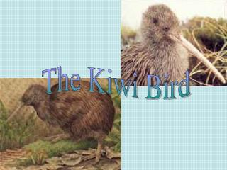 The Kiwi Bird