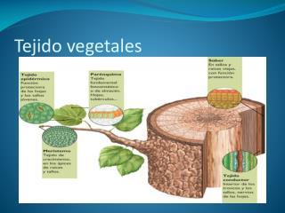 Tejido vegetales