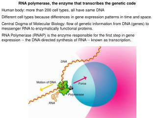RNA polymerase, the enzyme that transcribes the genetic code