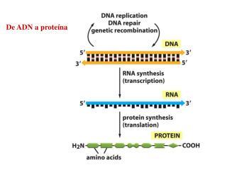 De ADN a prote�na