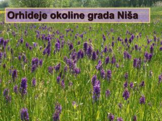 Orhideje okoline grada Niša