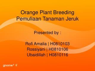 Orange Plant Breeding Pemuliaan Tanaman Jeruk
