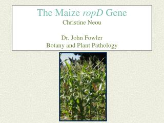 The Maize  ropD  Gene Christine Neou Dr. John Fowler Botany and Plant Pathology