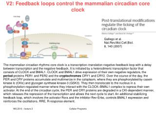 V2: Feedback loops control the mammalian circadian core clock