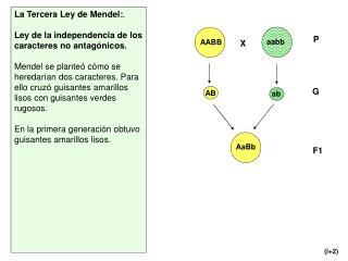 La Tercera Ley de Mendel: .  Ley de la independencia de los caracteres no antagónicos.