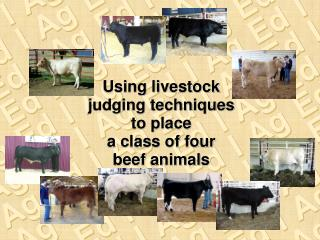 Using livestock judging techniques to place a class of four beef animals