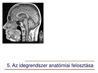 5. Az idegrendszer anatómiai felosztása