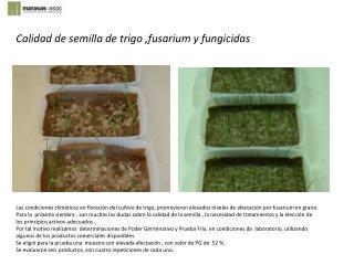 Calidad de semilla de trigo ,fusarium y fungicidas