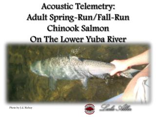 Acoustic Telemetry:   Adult Spring-Run/Fall-Run Chinook Salmon   On The  Lower  Yuba River