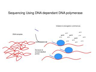 Sequencing Using DNA dependant DNA polymerase