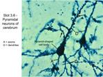 Slot 3.6 - Pyramidal neurons of cerebrum