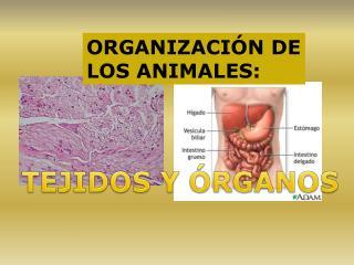ORGANIZACIÓN DE LOS ANIMALES: